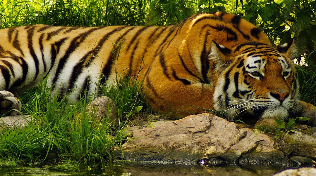 relaxed-tiger